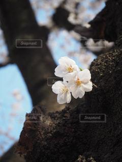 小さく桜の写真・画像素材[1084476]