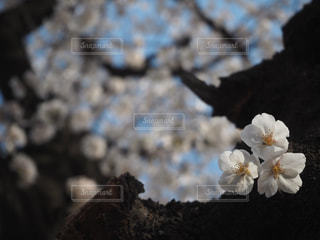 桜の写真・画像素材[1084477]