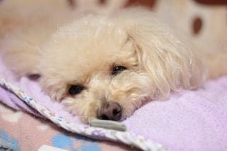ベッドの上に座っている犬の写真・画像素材[970352]