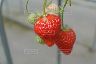 イチゴ摘みの写真・画像素材[1058029]