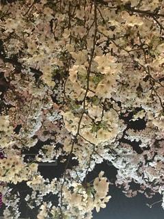 八重洲のさくら通りで夜桜見物の写真・画像素材[994004]