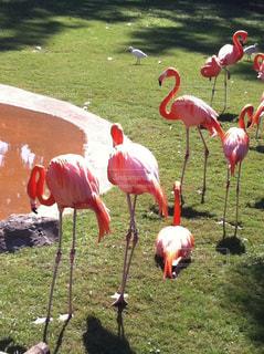 動物園のフラミンゴの写真・画像素材[970538]