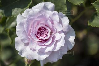 薄いピンク色のバラの写真・画像素材[1291256]