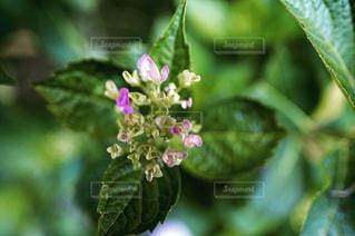 開花前のあじさいの写真・画像素材[1291260]