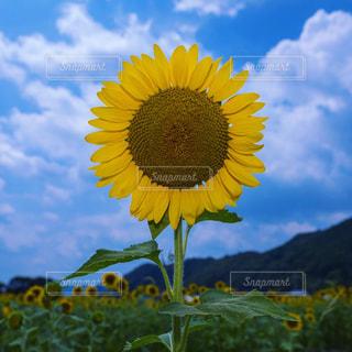 ひまわり畑の写真・画像素材[1328810]