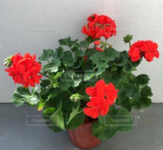 赤い花のゼラニウムの写真・画像素材[1153949]
