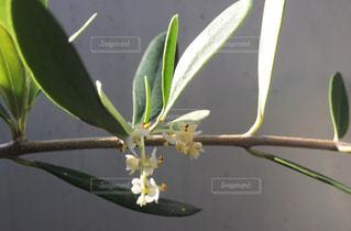 オリーブの花の写真・画像素材[1200285]