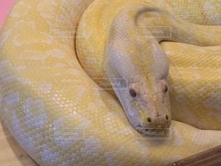 ビルマニシキヘビのクローズアップの写真・画像素材[2380076]