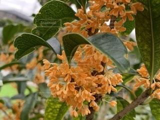 キンモクセイ★金木犀の花の写真・画像素材[2622577]