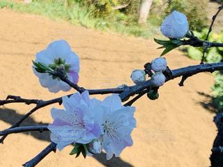 色の可愛いしだれ梅の写真・画像素材[3049714]