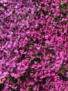 ピンクの芝桜の写真・画像素材[3136155]