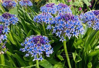 紫色の花のアガパンサスの写真・画像素材[3143527]