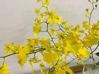 黄色いのオンシジュームの写真・画像素材[3251886]