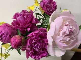 2種のピンクの芍薬の写真・画像素材[3298988]