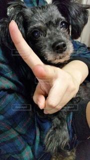 愛犬のチワプーの写真・画像素材[3367578]