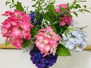色とりどりの紫陽花の写真・画像素材[3442944]