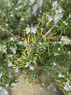 ローズマリーの花の写真・画像素材[3559807]