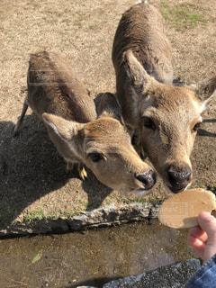 奈良公園のかわいい鹿たちの写真・画像素材[1125261]