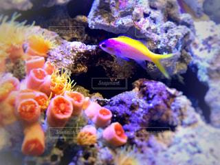 サンゴ礁の魚の写真・画像素材[1062448]