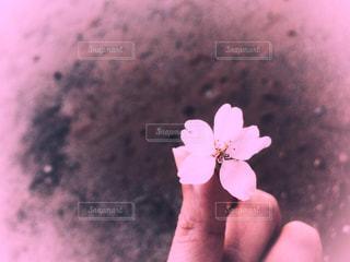 サクラの花の写真・画像素材[1077934]