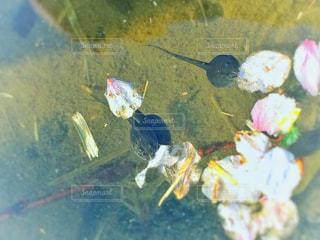 オタマジャクシと桜 - No.1101735