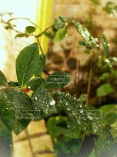 雨のしずくの写真・画像素材[1182121]