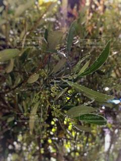 オリーブの木のしずくの写真・画像素材[1182123]