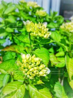 アジサイの花の写真・画像素材[1191020]