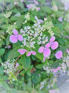 アジサイの花の写真・画像素材[1191102]