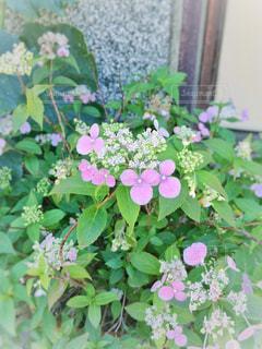 可愛いアジサイの花の写真・画像素材[1191104]