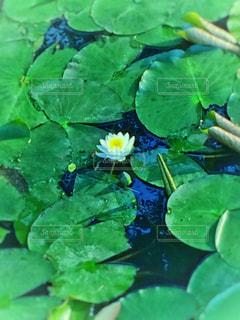 蓮の花の写真・画像素材[1193093]