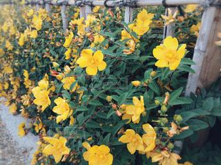 黄色の花の写真・画像素材[1193728]