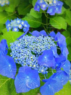 雨と紫陽花の写真・画像素材[1213082]