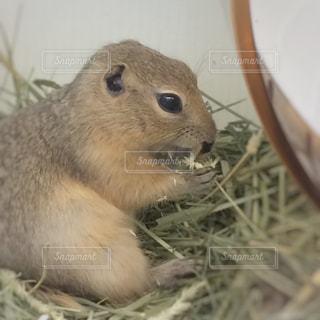 干し草の山を食べるリスの写真・画像素材[1277026]