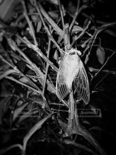 セミの羽化の写真・画像素材[1305103]
