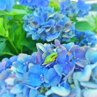 紫陽花とカエルの写真・画像素材[2266622]