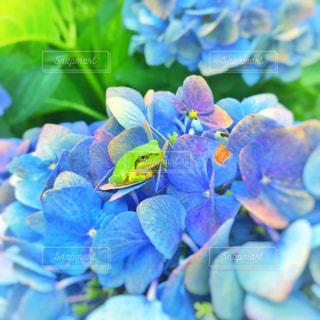 紫陽花とカエルの写真・画像素材[2266625]