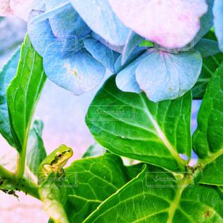 紫陽花と蛙の写真・画像素材[2270615]