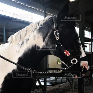 白黒の馬の顔アップの写真・画像素材[970978]