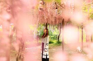 藤の花 - No.971566