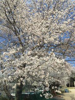 桜の木の写真・画像素材[971334]