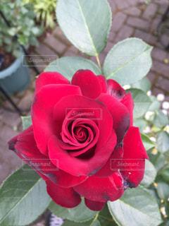 赤いバラの写真・画像素材[1012713]