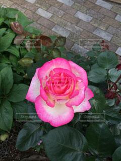 ピンクのバラの写真・画像素材[1012714]