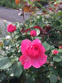 鮮やかな薔薇の写真・画像素材[1012717]
