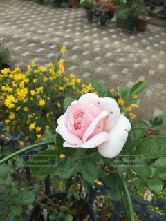 小さなバラの写真・画像素材[1012746]