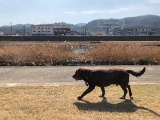 ふかふかな芝生を歩く犬の写真・画像素材[1026198]