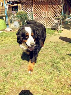 大きくて優しい犬の写真・画像素材[1064729]
