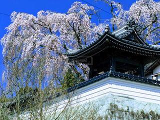 枝垂れ桜の写真・画像素材[1093046]