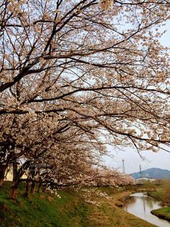 桜並木の散歩道の写真・画像素材[1093049]