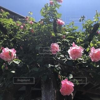 バラ咲く季節の写真・画像素材[2095093]